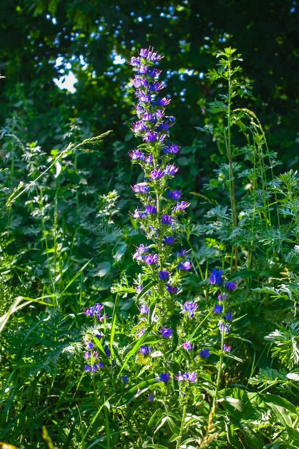 Ιατρικό χορτάρι officinalis Hyssop ή Hyssopus, ανθίζοντας λουλούδι κοντά επάνω, ζωηρόχρωμες και ζωηρές εγκαταστάσεις, φυσικό υπόβ στοκ εικόνες