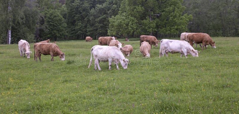 λιβάδι βοοειδών στοκ φωτογραφίες με δικαίωμα ελεύθερης χρήσης