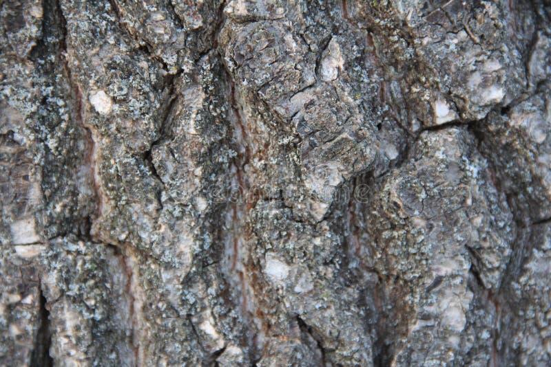 Ιδιαίτερα λεπτομερής παλαιά δρύινη σύσταση φλοιών δέντρων, μακρο φωτογραφία υποβάθρου της φύσης με το bokeh στοκ φωτογραφία με δικαίωμα ελεύθερης χρήσης