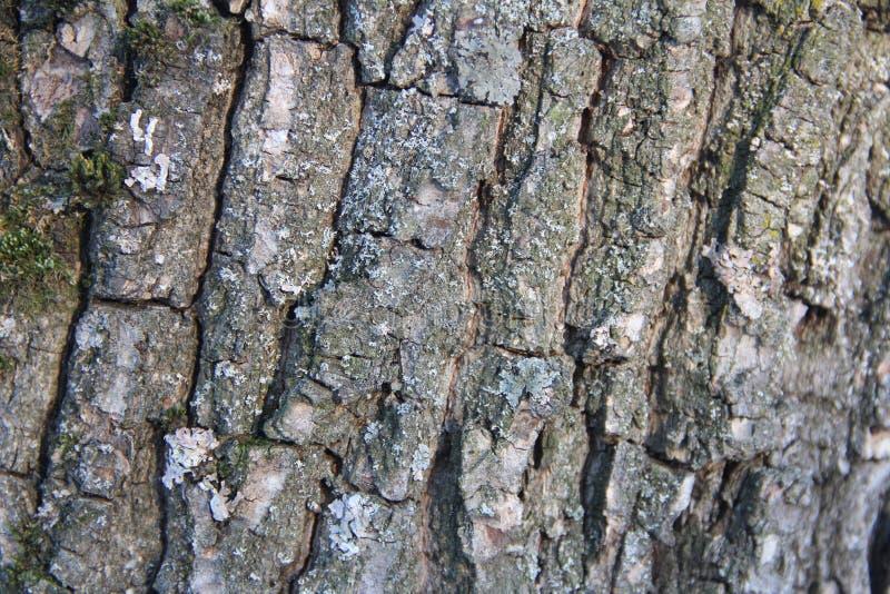 Ιδιαίτερα λεπτομερής παλαιά δρύινη σύσταση φλοιών δέντρων, μακρο φωτογραφία υποβάθρου της φύσης με το bokeh στοκ εικόνα με δικαίωμα ελεύθερης χρήσης