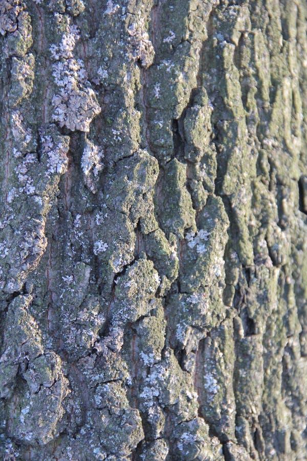 Ιδιαίτερα λεπτομερής παλαιά δρύινη σύσταση φλοιών δέντρων, μακρο φωτογραφία υποβάθρου της φύσης με το bokeh στοκ φωτογραφίες με δικαίωμα ελεύθερης χρήσης