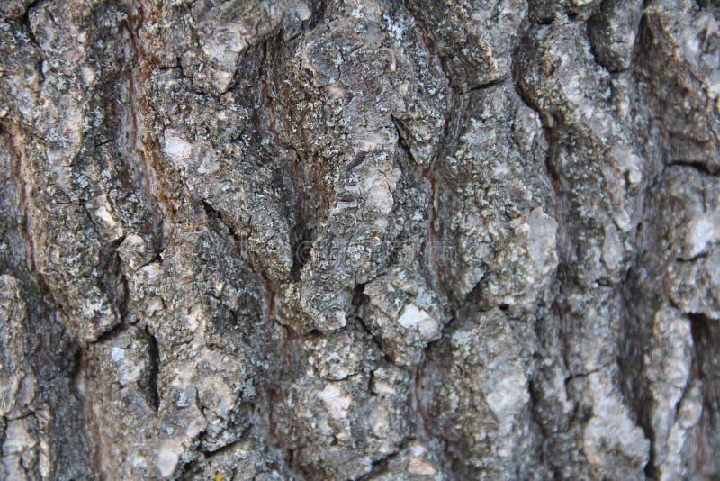 Ιδιαίτερα λεπτομερής παλαιά δρύινη σύσταση φλοιών δέντρων, μακρο φωτογραφία υποβάθρου της φύσης με το bokeh στοκ εικόνες