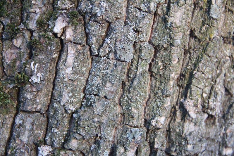 Ιδιαίτερα λεπτομερής παλαιά δρύινη σύσταση φλοιών δέντρων, μακρο φωτογραφία υποβάθρου της φύσης με το bokeh στοκ φωτογραφίες