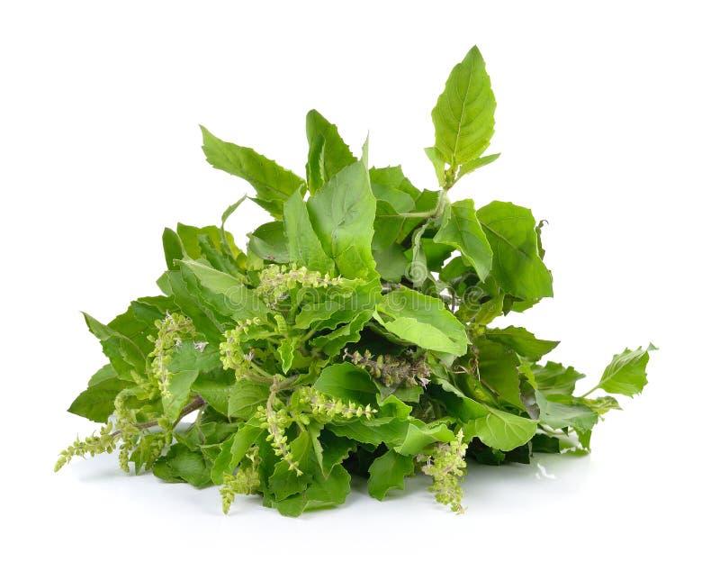 Ιερά φύλλα βασιλικού ή tulsi που απομονώνονται στο άσπρο υπόβαθρο στοκ φωτογραφία