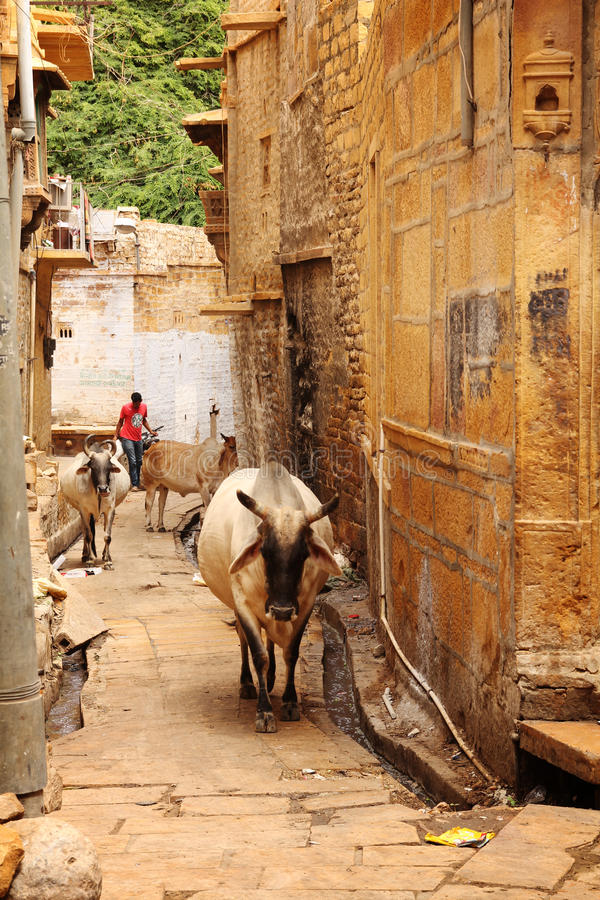 Ιερή αγελάδα στοκ φωτογραφία