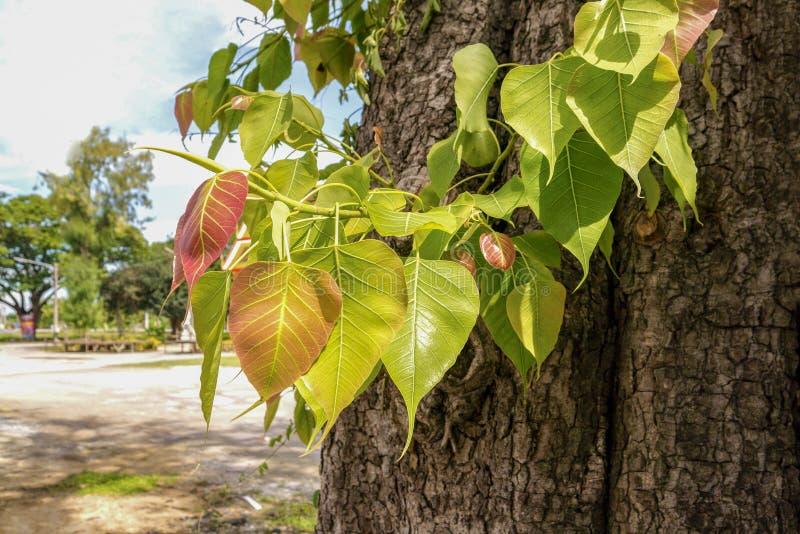 Ιερό δέντρο για τα βουδιστικά φύλλα pho στο φυσικό υπόβαθρο στοκ εικόνα