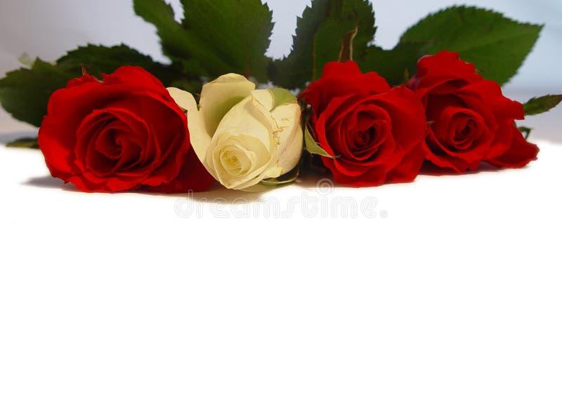 ΙΙ τριαντάφυλλα στοκ φωτογραφία