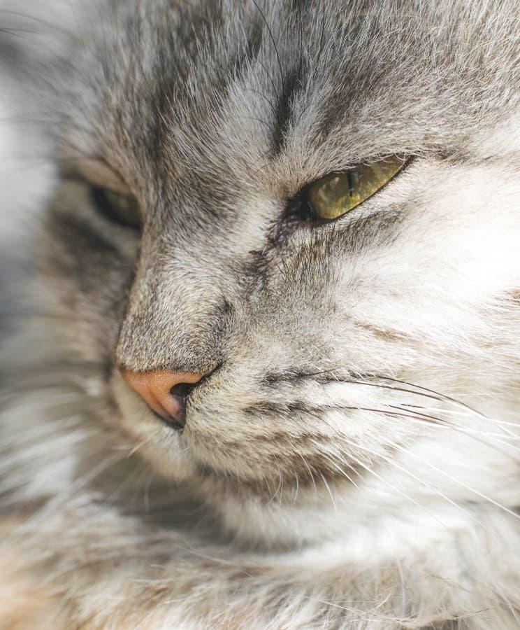 Ικανοποιημένη γκρίζα γάτα του Maine coon στοκ φωτογραφία με δικαίωμα ελεύθερης χρήσης