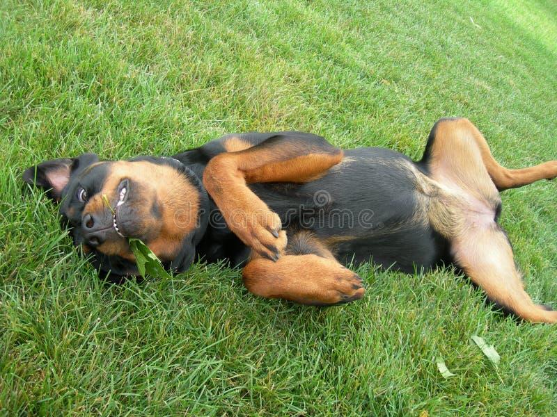 ικετεύει το τρίψιμο κουταβιών σκυλιών tummy στοκ φωτογραφίες
