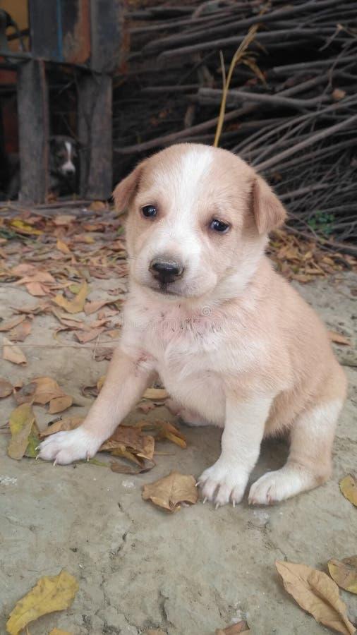 Ινδικά σκυλιά στο Ουτάρ Πραντές στοκ φωτογραφίες