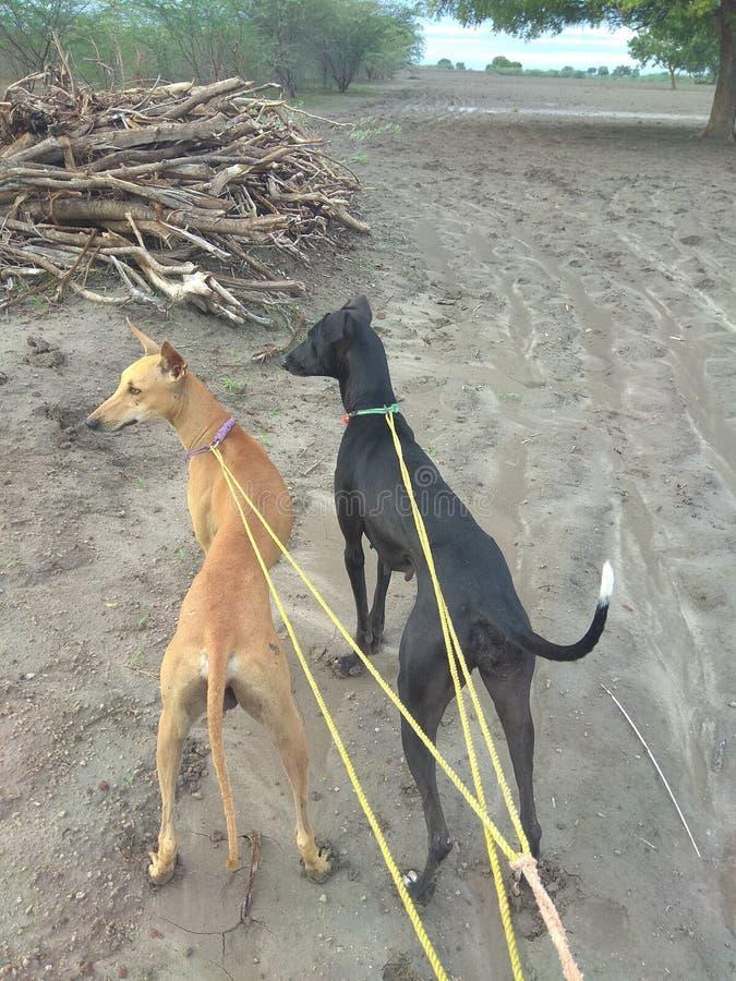 Ινδικά kanni και chippiparai σκυλιών κυνηγιού που στέκονται με μια υπερηφάνεια στον τομέα κυνηγιού στοκ φωτογραφία
