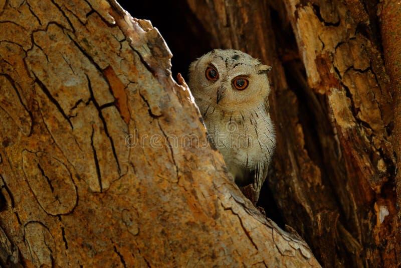 Ινδική κουκουβάγια scops, bakkamoena Otus, σπάνιο πουλί από την Ασία Όμορφη κουκουβάγια της Μαλαισίας στο δασικό βιότοπο φύσης Πο στοκ φωτογραφίες με δικαίωμα ελεύθερης χρήσης