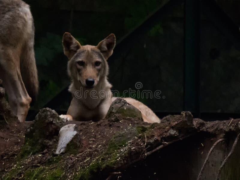 Ινδική συνεδρίαση λύκων στην κεκλιμένη ράμπα στοκ φωτογραφία με δικαίωμα ελεύθερης χρήσης