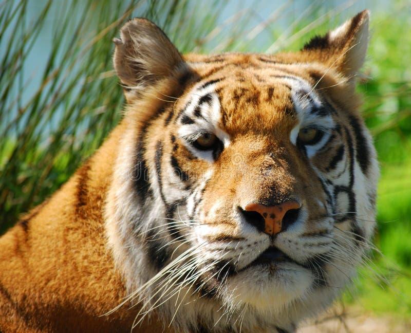 ινδική τίγρη πορτρέτου στοκ εικόνα με δικαίωμα ελεύθερης χρήσης