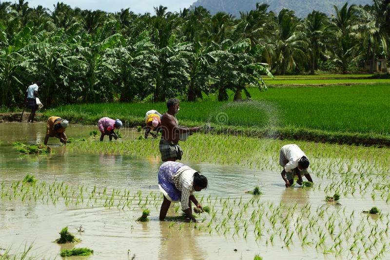 Ινδικοί αγρότες που εργάζονται στους τομείς ρυζιού στοκ εικόνες με δικαίωμα ελεύθερης χρήσης