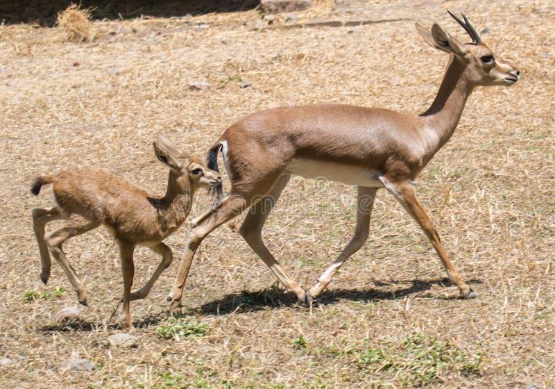 Ινδικοί gazelle και μόσχος Chinkara στοκ φωτογραφία