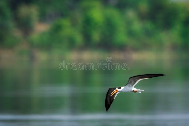Ινδικός αποβουτυρωτής ή ινδικά albicollis του ψαλίδι-Μπιλ Rynchops που ξαφρίζει και που πετά πέρα από το chambal ποταμό στοκ εικόνα με δικαίωμα ελεύθερης χρήσης