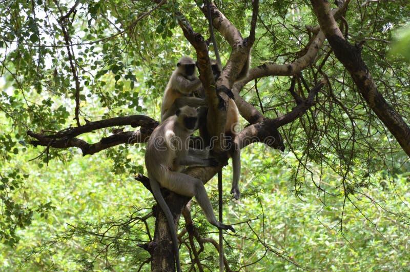 Ινδικός πίθηκος μακάκων στοκ φωτογραφία με δικαίωμα ελεύθερης χρήσης