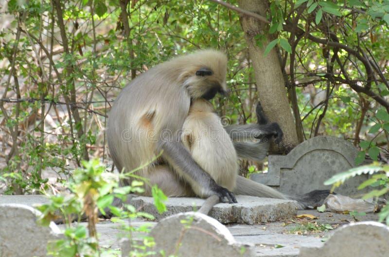 Ινδικός πίθηκος μακάκων στοκ εικόνα