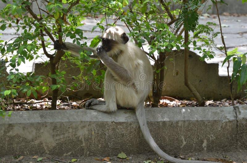 Ινδικός πίθηκος Macaques του ρήσου μακάκου στοκ φωτογραφία με δικαίωμα ελεύθερης χρήσης