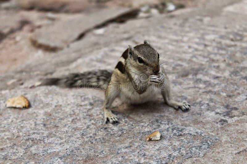Ινδικός σκίουρος που τρώει το ψωμί στοκ εικόνα