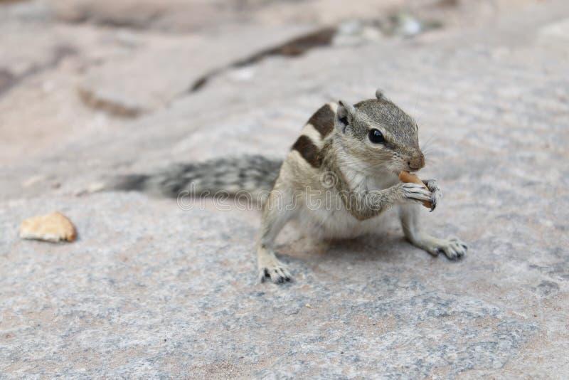 Ινδικός σκίουρος σε ένα πάρκο που τρώει ένα κομμάτι του ψωμιού στοκ εικόνες με δικαίωμα ελεύθερης χρήσης