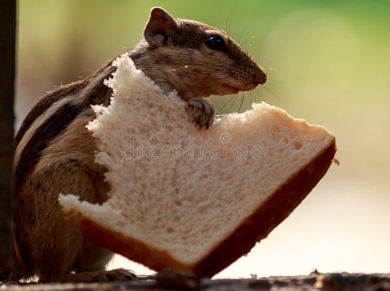 Ινδικός σκίουρος φοινικών με τη φέτα ψωμιού στοκ εικόνες