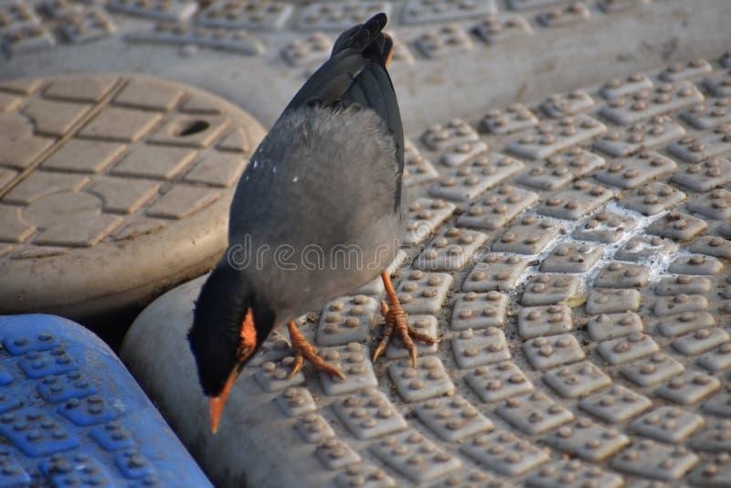 Ινδικό αγιοπούλι στοκ εικόνες