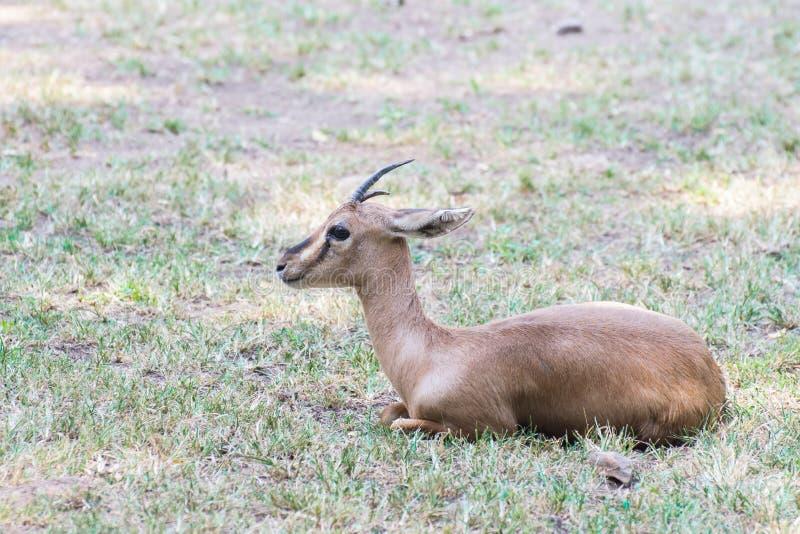 Ινδικό αρσενικό Gazelle Chinkara στοκ εικόνες