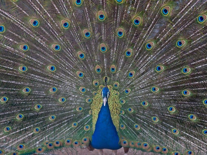 Ινδικό αρσενικό Peacock με τα φτερά έξω στοκ εικόνα με δικαίωμα ελεύθερης χρήσης