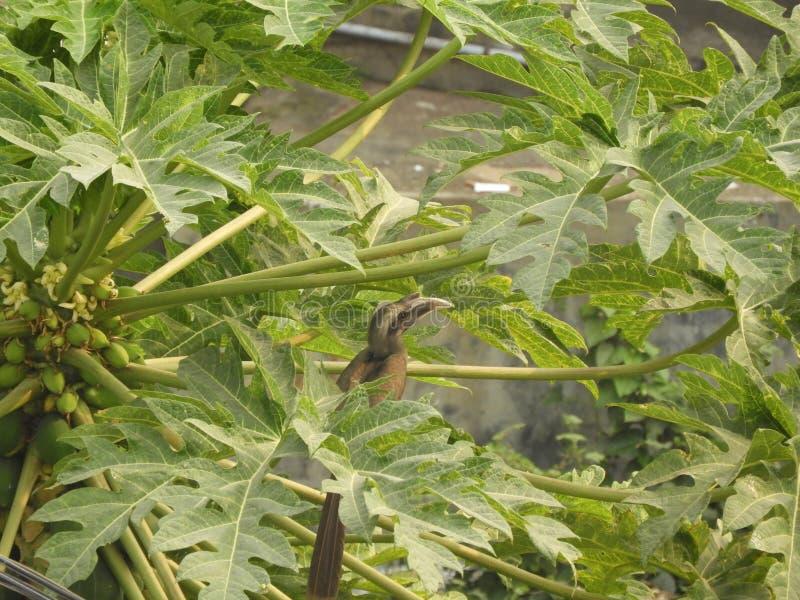 Ινδικό γκρίζο hornbill papaya στο δέντρο στοκ εικόνες