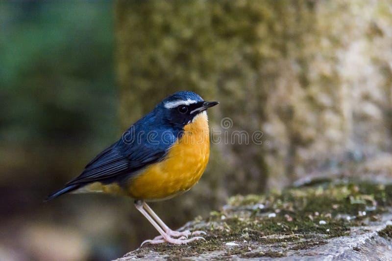 Ινδικό μπλε brunnea του Robin ή Luscinia στοκ φωτογραφίες