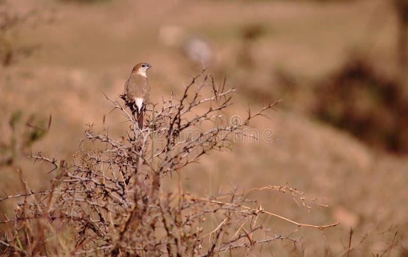 Ινδικό πουλί silverbill στοκ φωτογραφίες