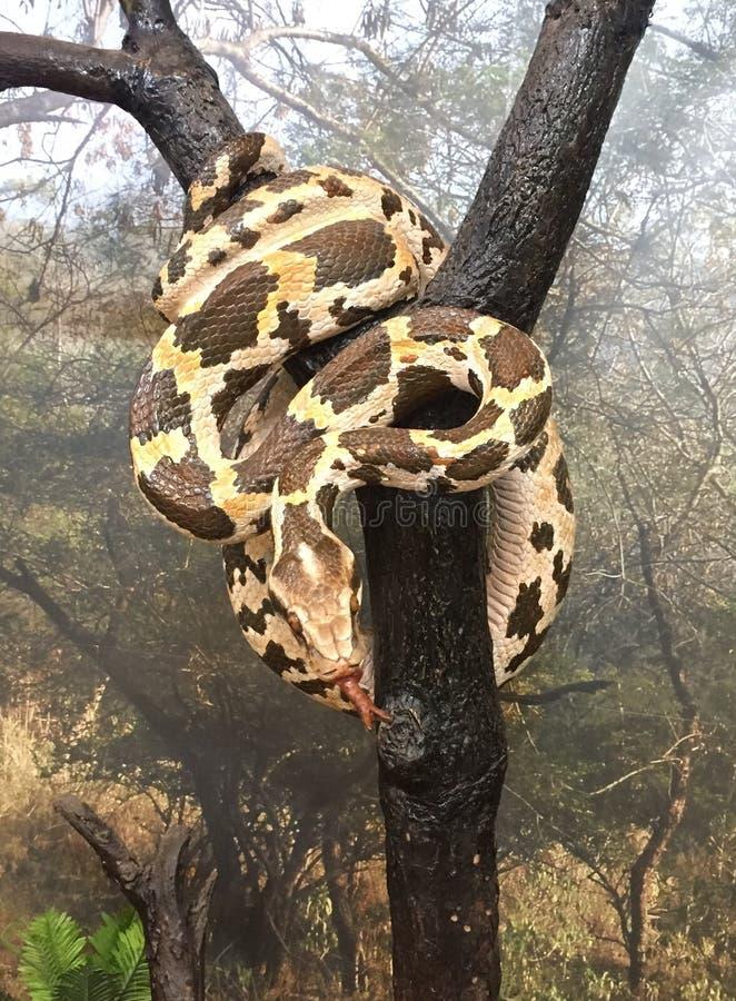 Ινδικό πρότυπο βράχου python στοκ εικόνες