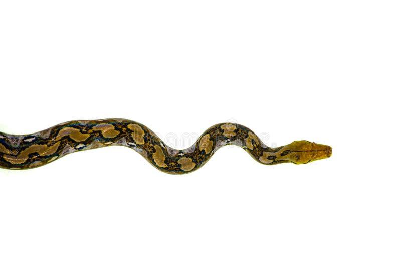 Ινδικό φίδι Python που απομονώνεται στο άσπρο υπόβαθρο στοκ εικόνα με δικαίωμα ελεύθερης χρήσης