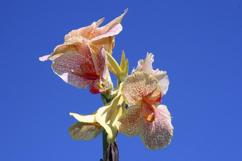 ινδικό kan λουλουδιών στοκ φωτογραφία με δικαίωμα ελεύθερης χρήσης
