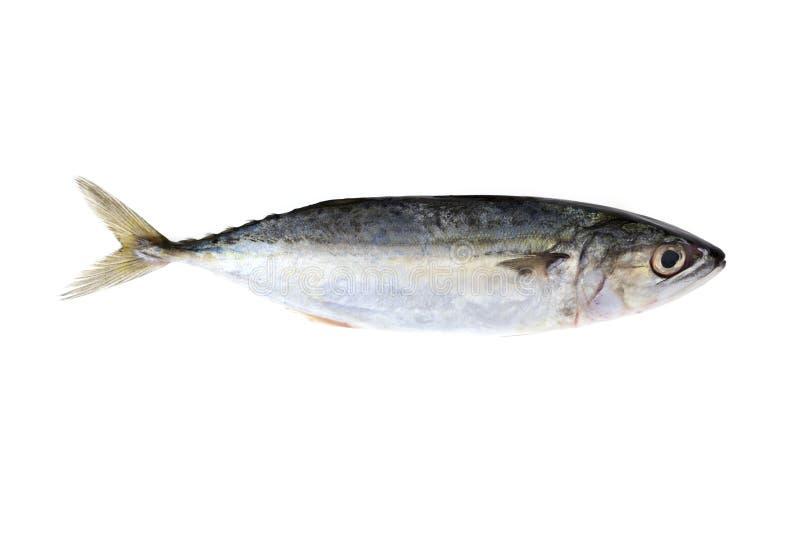 Ινδικά ψάρια σκουμπριών που απομονώνονται στο άσπρο υπόβαθρο στοκ φωτογραφίες με δικαίωμα ελεύθερης χρήσης