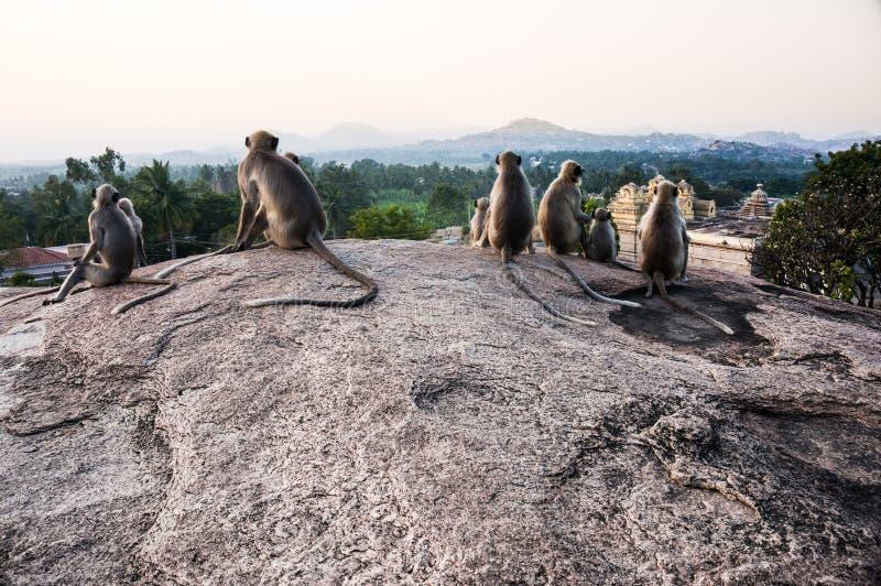 Ινδικά langurs sittng στο σημείο άποψης σε Hampi, Karnataka, Ινδία στοκ φωτογραφίες