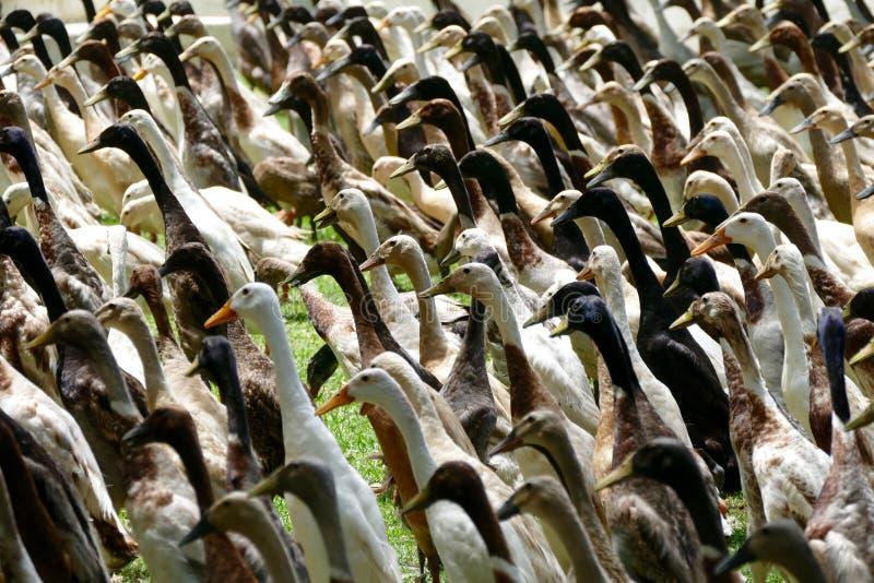 Ινδικές πάπιες τρεξίματος στοκ φωτογραφία με δικαίωμα ελεύθερης χρήσης
