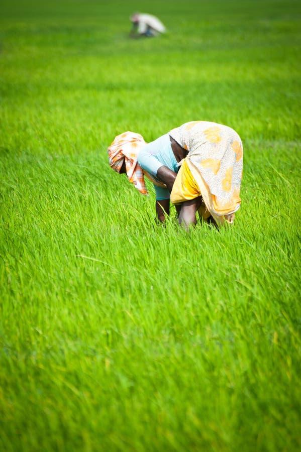 Ινδική γυναίκα που εργάζεται στον τομέα ρυζιού Ινδία, Tamil Nadu, κοντά σε Thanjavour στοκ εικόνες