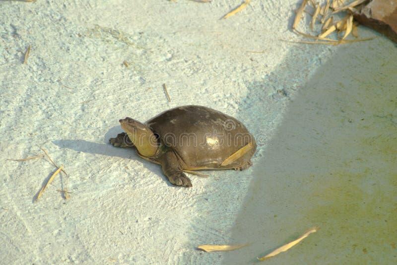 Ινδική χελώνα Softshell στοκ εικόνα με δικαίωμα ελεύθερης χρήσης