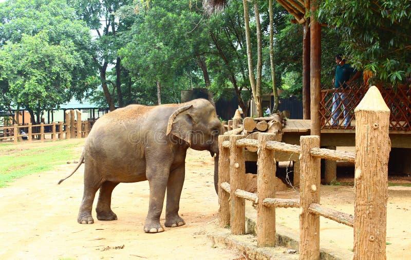 Ινδικός ελέφαντας στοκ φωτογραφίες