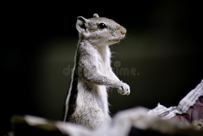 ινδικός σκίουρος φοινι&kap στοκ φωτογραφία