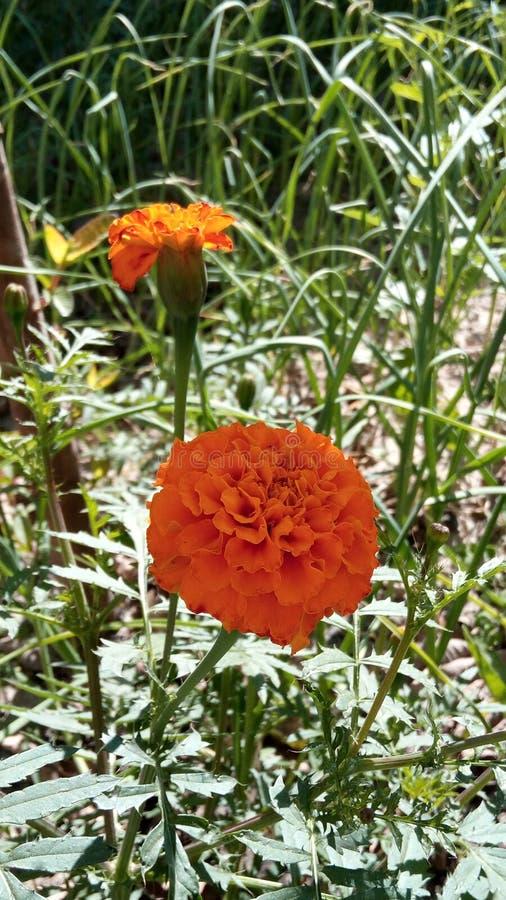 Ινδικό λουλούδι στοκ φωτογραφίες με δικαίωμα ελεύθερης χρήσης