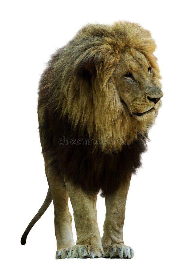 λιοντάρι Απομονωμένος στο λευκό στοκ φωτογραφίες