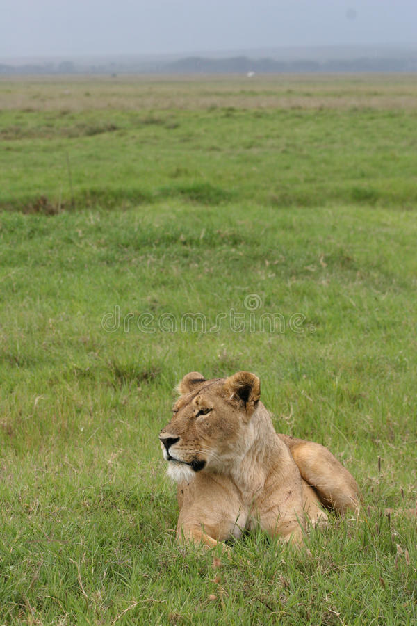 λιονταρίνα στοκ φωτογραφίες με δικαίωμα ελεύθερης χρήσης