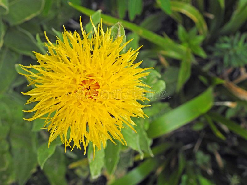 Ιουρασικός εξωτικός λουλουδιών φοίνικας πετάλων εγκαταστάσεων κίτρινος stamens τροπικός στοκ φωτογραφία με δικαίωμα ελεύθερης χρήσης