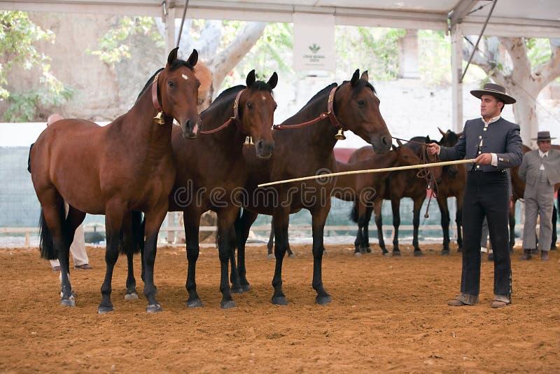 Ιππική λειτουργία δοκιμής με 3 καθαρά ισπανικά άλογα στοκ εικόνα