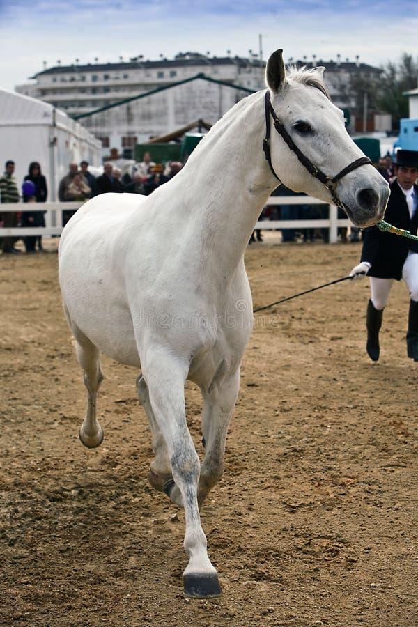 Ιππική δοκιμή της μορφολογίας στα καθαρά ισπανικά άλογα στοκ εικόνες με δικαίωμα ελεύθερης χρήσης