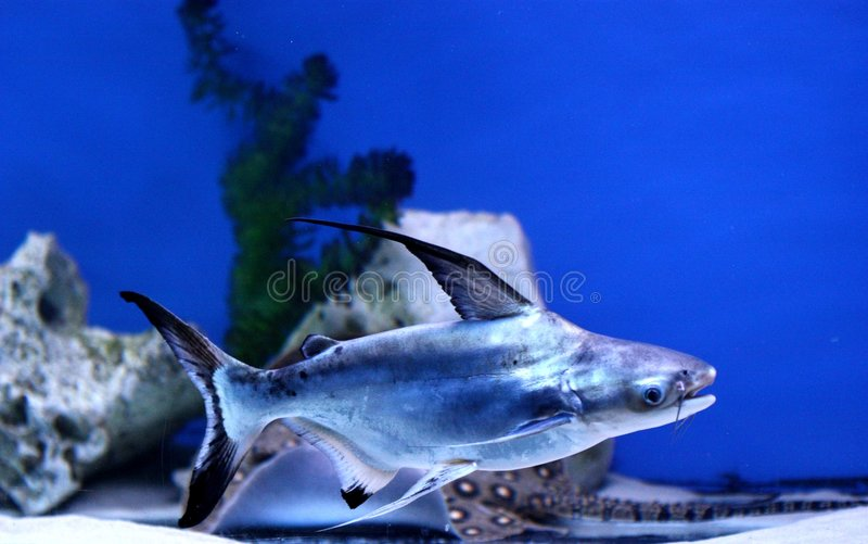 ιριδίζων καρχαρίας στοκ εικόνες